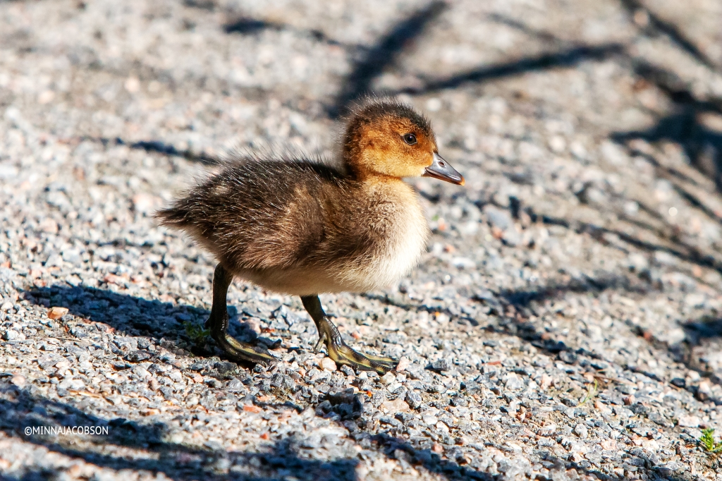 Baby wigeon ❤️from the side (23.6.2020) Porla Lohja Finland