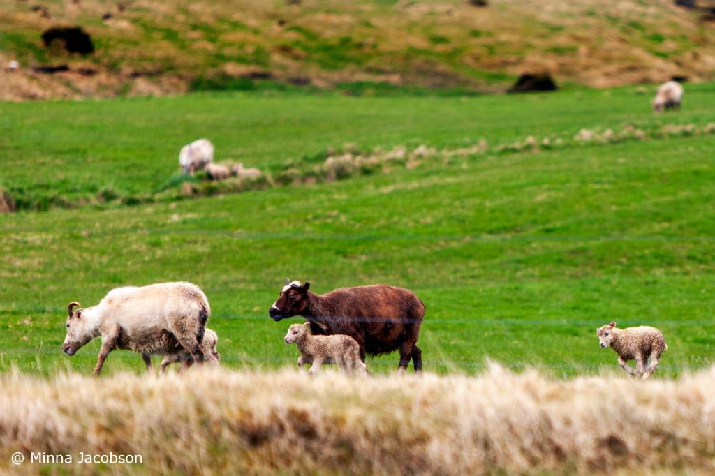Sheep, Iceland, 2017