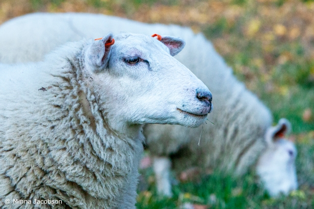 FinnSheep is native sheep breed of Finland, Lohja, Finland 2020