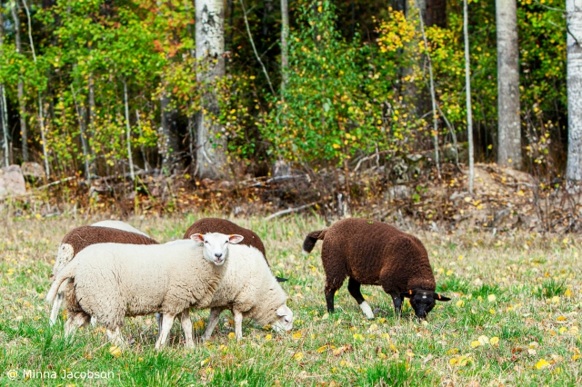 FinnSheep are Northern speciality, Lohja Finland