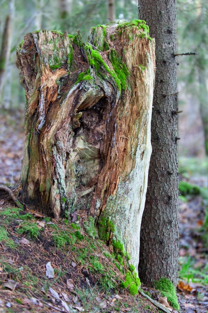 Old stump in Latokartanonkoski, Perniö, Finland