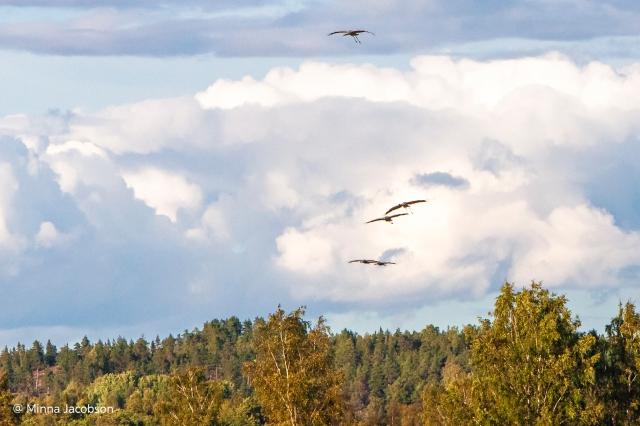 Migrating crowns in Saltfjärden Kirkkonummi Finland 2020. Muuttomatkalla olevia kurkia. - @ Minna Jacobson