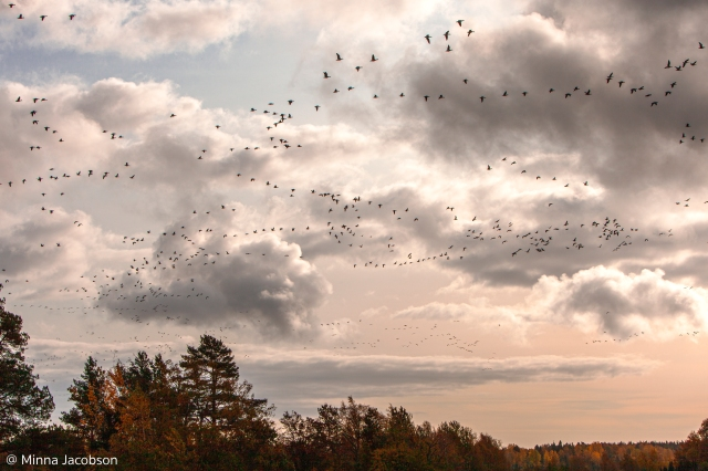 Geese are migrating in mixed flocks - @ Minna Jacobson
