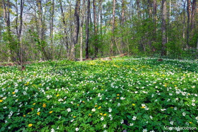 Yellow and white wood anemone are usually growing together.
