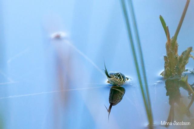 Grass snake in a water, tongue, Karnaistenkorpi, Finland